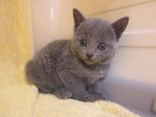 子猫ロシアン・ブリ・スコ 004.jpg