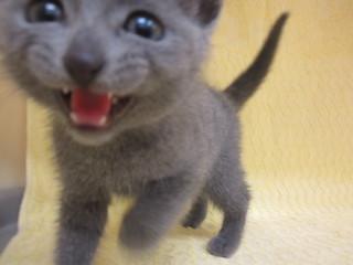 子猫ロシアン・ブリ・スコ 005.jpg